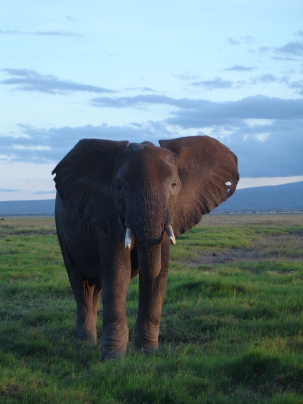 Curious Elephant, Amboseli national Park, Kenya