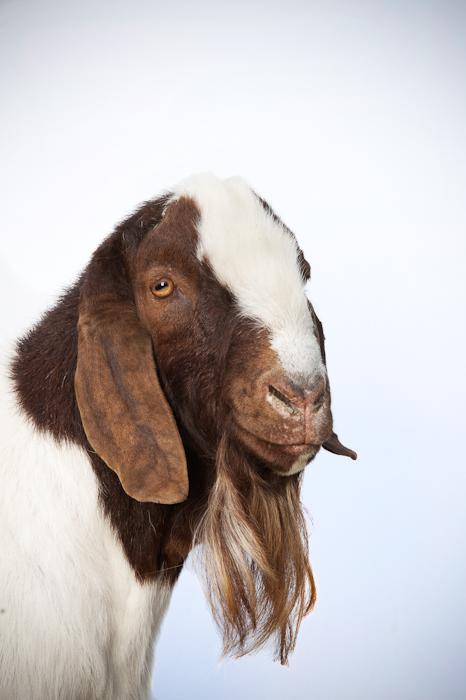 Boer Ram Goat