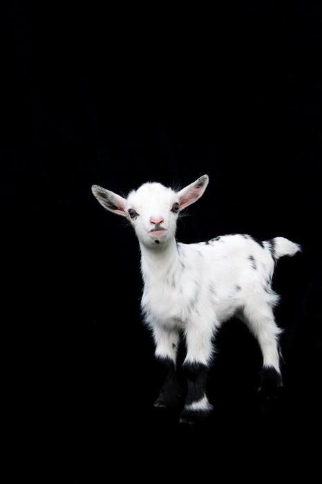 Dwarf Nubian Goat - kid