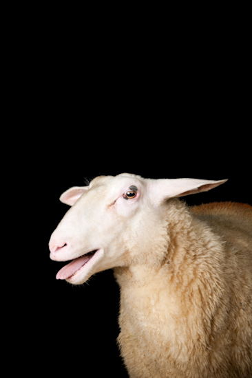 Friesland sheep