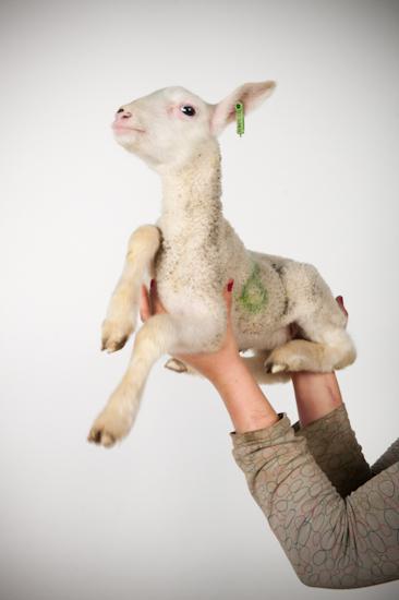 Friesland lamb