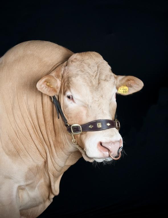 British Blonde, Modern Farmer, Bull, Big Bull, Blonde, Cow,
