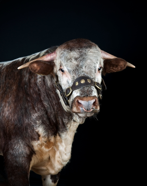 English Longhorn Bull