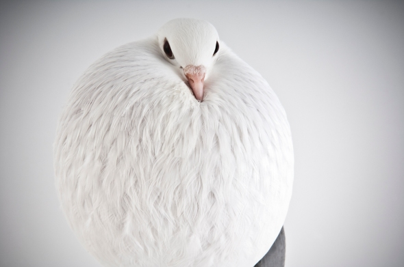Fancy Pigeon