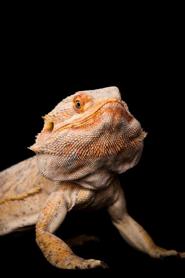 Bearded Dragon_RB_26