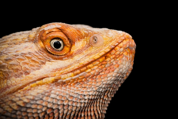 Bearded Dragon_RB_45