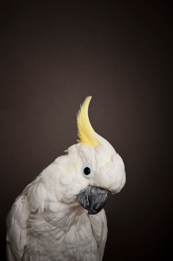 Greater Sulphur Crested Cockatoo_RB_03