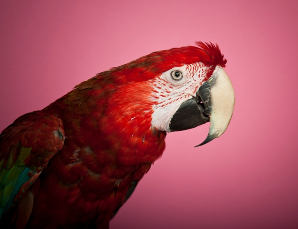 Green Winged Macaw_RB_19