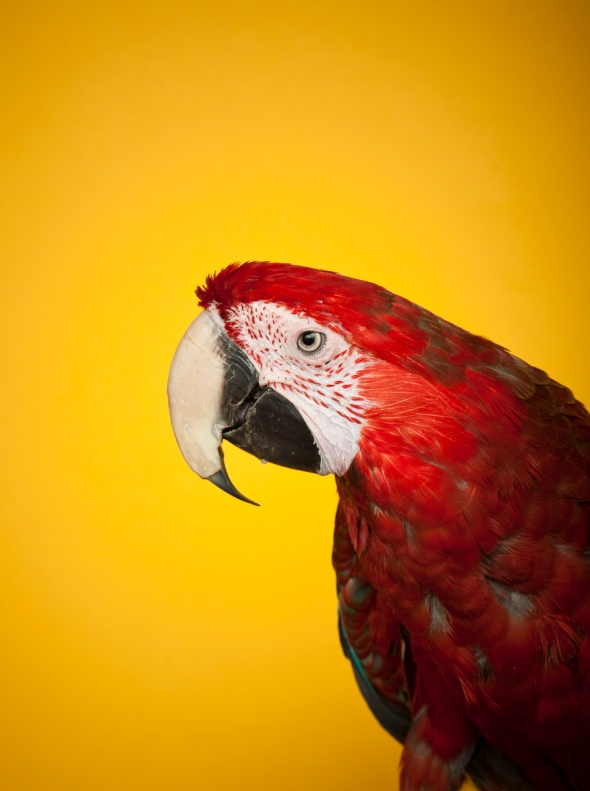 Green Winged Macaw_RB_26