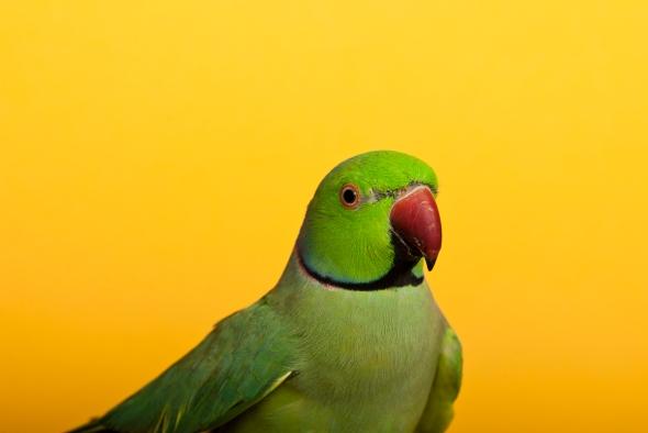 Ring Necked Parakeet_RB_03