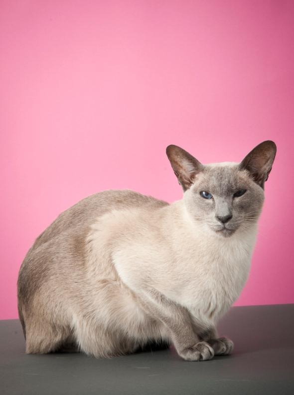 Siamese Cat_RB15_03
