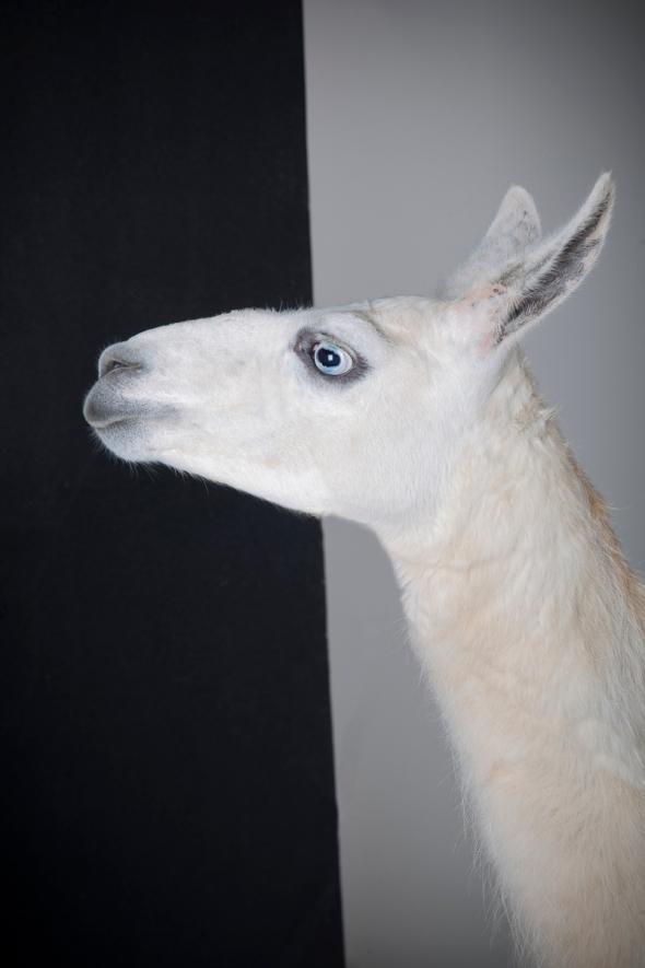 studio portrait of a Llama