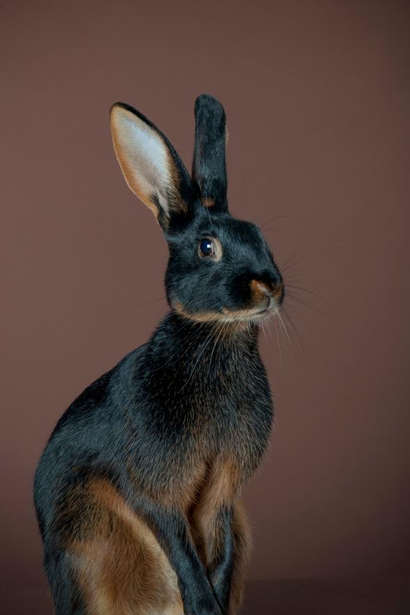 studio portrait of a rabbit