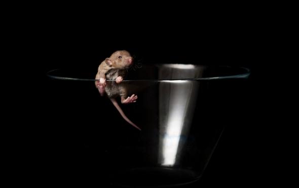 Baby rat