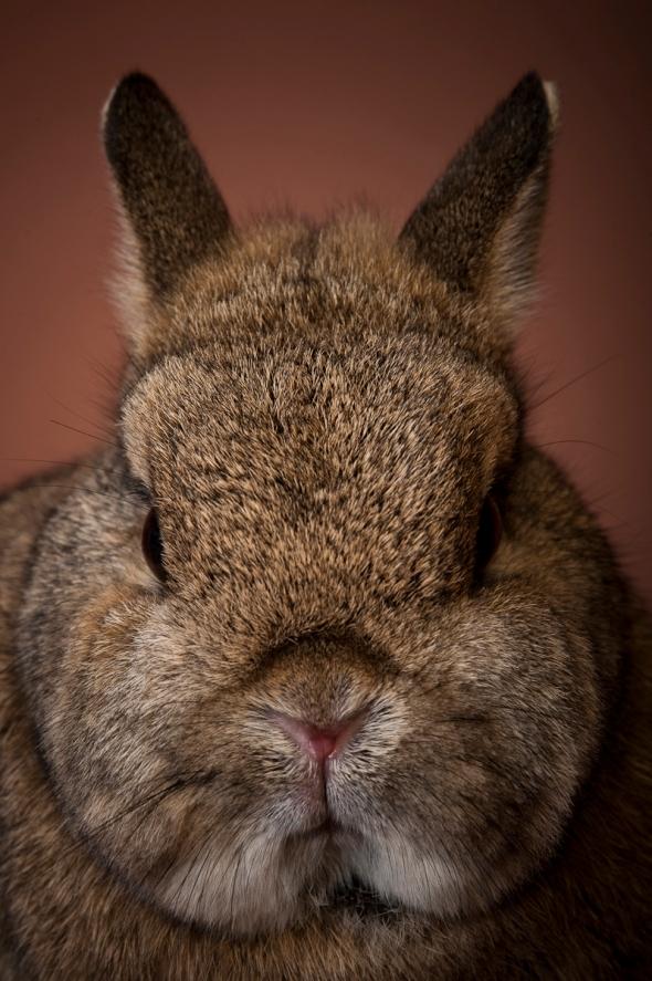 Flat nosed rabbit
