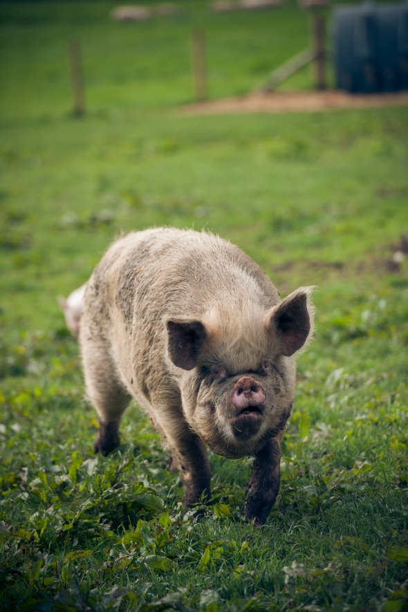 Middle White sow