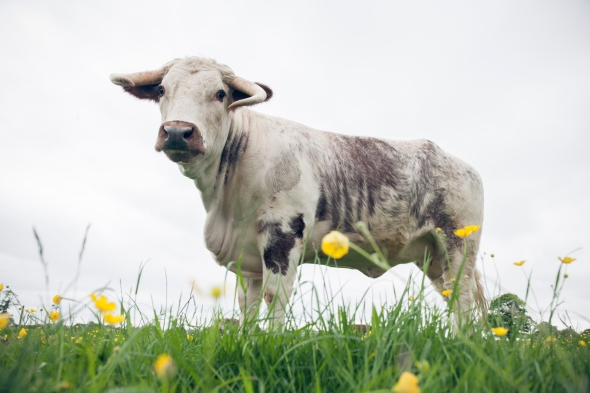 English Longhorn cow in a meadow