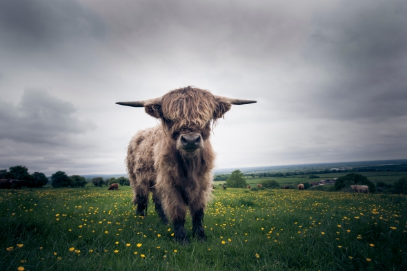 Highland cow in a field of buttercups