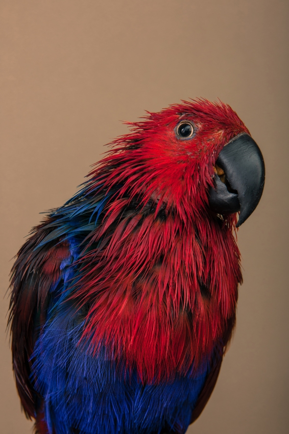 A female Eclectus parrot with wet feathers