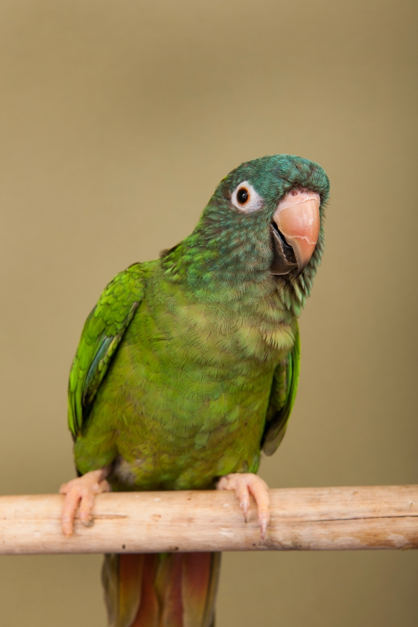 A blue-crowned conure